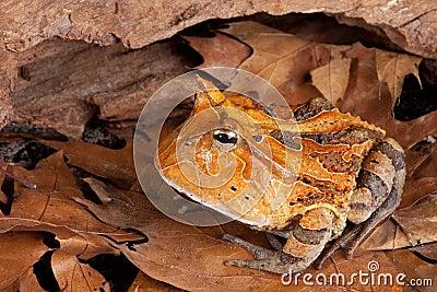 Horned toad Ceratophys cornuta