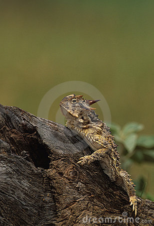 Free Horned Toad Lizard Royalty Free Stock Photo - 8761935