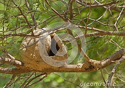 Hornero Bird nest