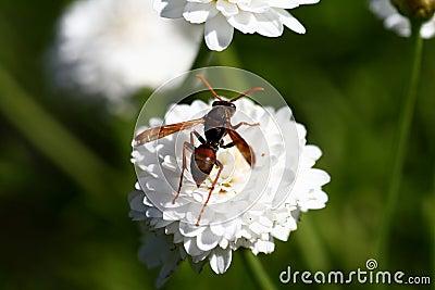Hornet on flower