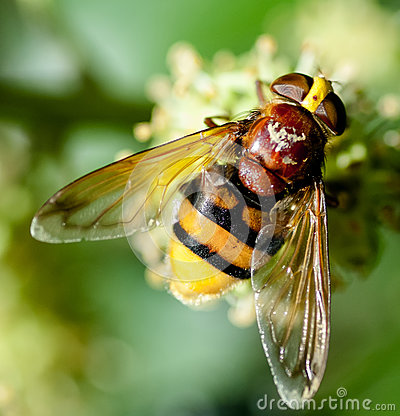 Free Hornet Mimic Hoverfly Royalty Free Stock Images - 46309949