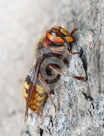 Free Hornet On Pine Royalty Free Stock Photography - 110756867