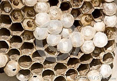 Hornet s nest