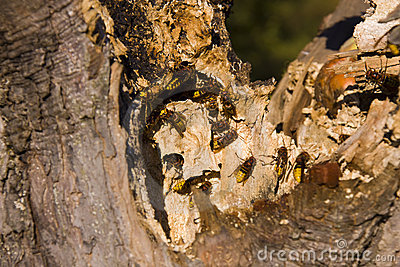 Hornets nesting in tree stump