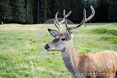 male deer  in mountain landscape