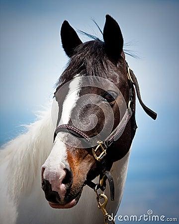 Free Horse Royalty Free Stock Image - 14358486