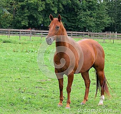 Free Horse Royalty Free Stock Photo - 90615