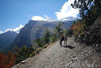 Horse along the Annapurna trek in Nepal