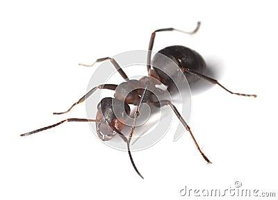 Horse ant isolated on white background