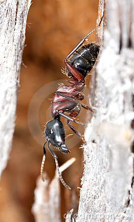 Horse ant on wood. Extreme close-up.