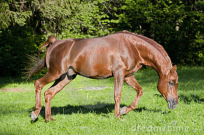 Horse arab run chestnut