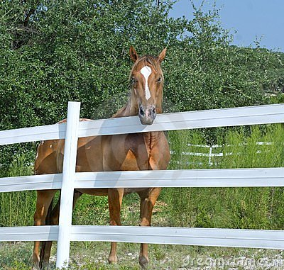 Horse Behind White Fence