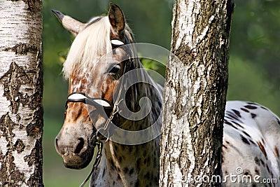 Horse in birches