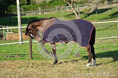 Horse playing with blanket in winter