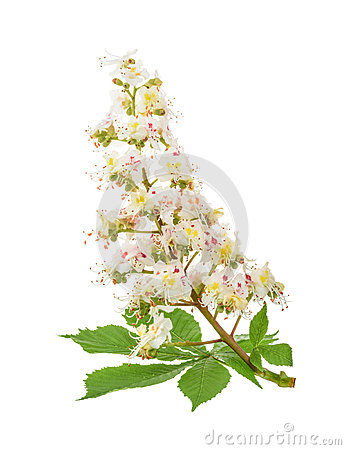Free Horse-chestnut (Aesculus Hippocastanum, Conker Tree) Flowers Iso Royalty Free Stock Photo - 71142225