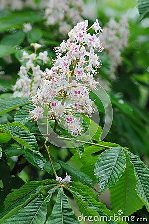 Horse chestnut in bloom.