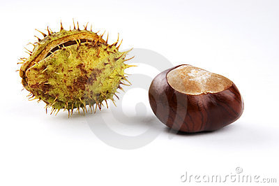 Horse Chestnut or Conker