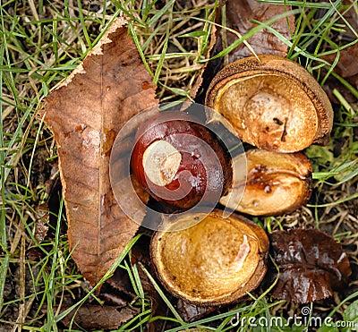 Horse-chestnut of the Hippocastanum tree