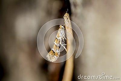 Horse Chestnut Leaf Miner