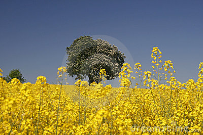 Horse chestnut with rape field in spring, Germany