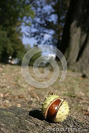Horse-Chestnut in shell
