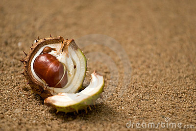 Horse chestnut shell and nut