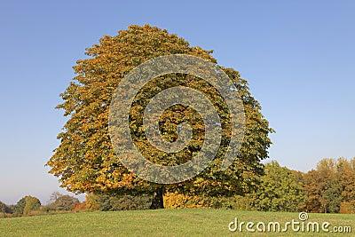 Horse chestnut tree (Aesculus hippocastanum) Conker tree in autumn, Lengerich, North Rhine-Westphalia, Germany