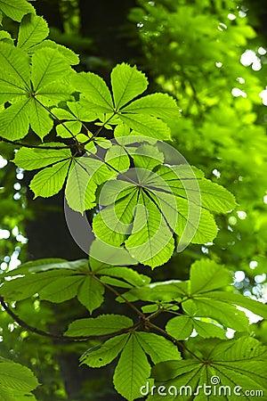 Free Horse Chestnut Tree Leaves Stock Photo - 16672570