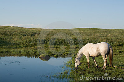 Horse drinking from creek