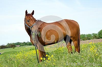 Horse eating alfalfa
