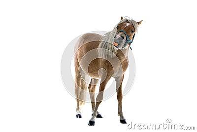 Horse Eating Carrot