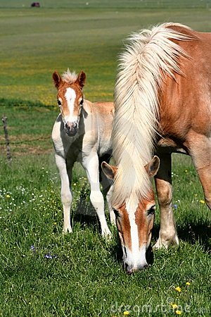 Free Horse Eating Grass And Foal Stock Photography - 2441382