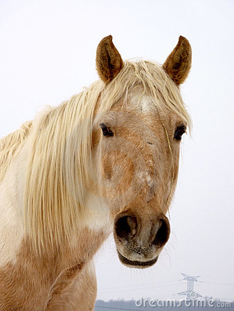 Horse Face Royalty Free Stock Photo Image 13383075