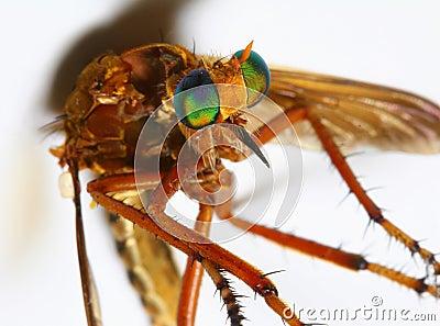 Horse Fly macro