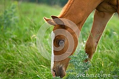 Horse Foal eating in field