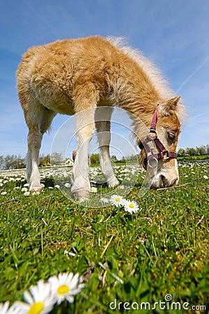 Free Horse Foal Eating Green Grass Stock Photos - 5408843