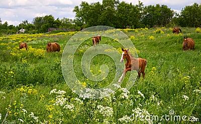 Horse Foal  in field