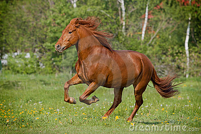 Horse galloing