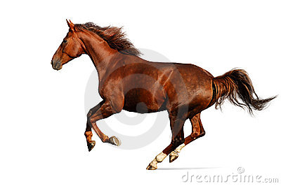 Horse gallops - isolated on white