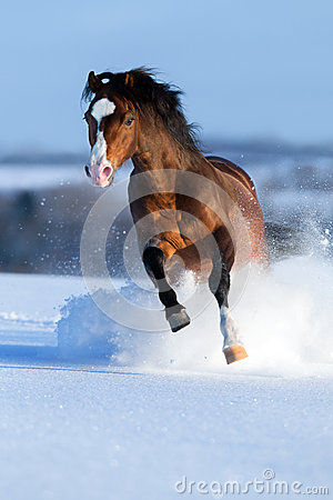 Horse gallops on winter background