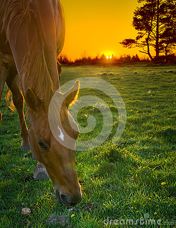 Free Horse Grazing At Sunset Royalty Free Stock Images - 31037719