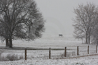 Horse grazing on a farm in a winter snowstorm