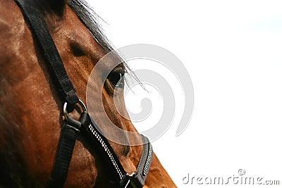 Horse head (isolated)