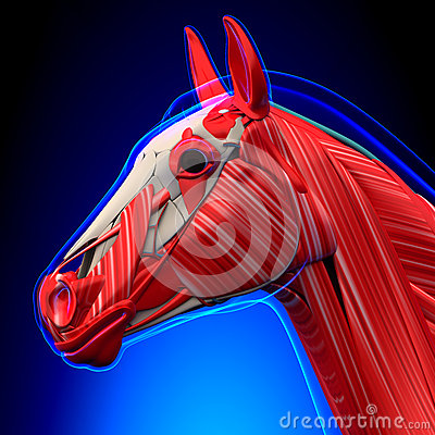 Free Horse Head Muscles - Horse Equus Anatomy - On Blue Background Royalty Free Stock Photos - 55577688