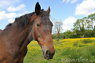 Horse Head Portrait in a summer meadow