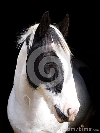 Free Horse Head Shot Royalty Free Stock Image - 36782066