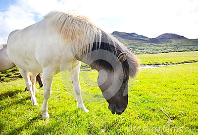 Horse in Iceland