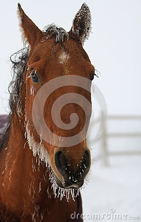 Horse in icicles.