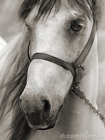 Free Horse In Sepia Royalty Free Stock Photos - 3095908
