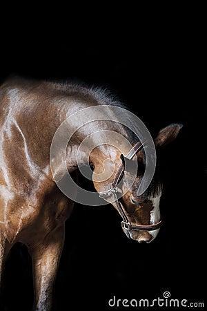 Horse indoors on black